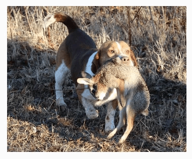 Your Beagle Will Handle Itself