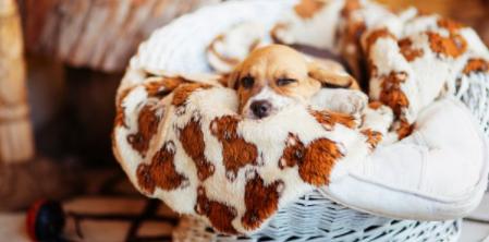 Keep the beagle puppies warm
