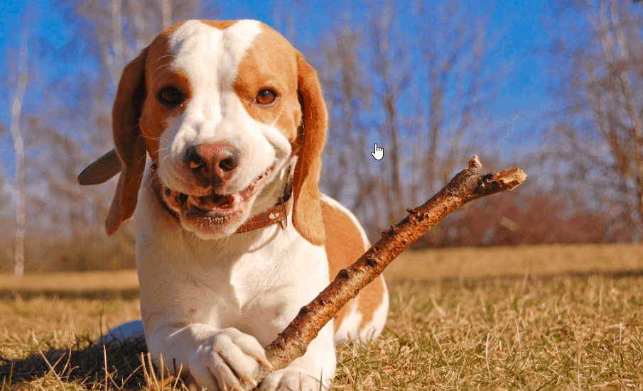 train and excercise your beagle perfectly