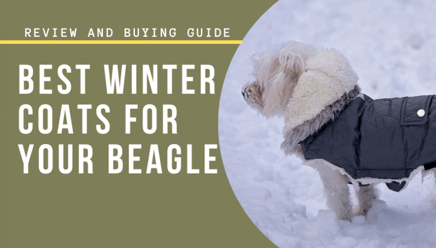 Best Winter Coats for your Beagle