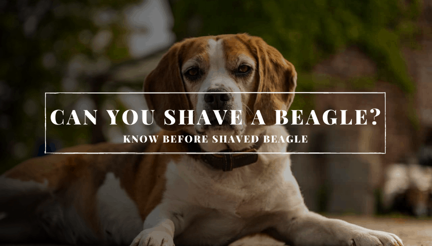 Can You Shave A Beagle?